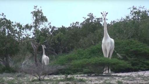Rare White Giraffe Poaching and What You Can Do
