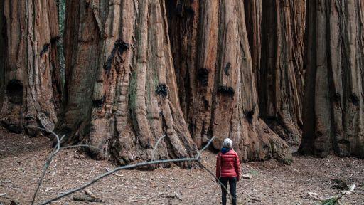 Giant Sequoia Fact Sheet