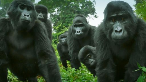 Clip |  Did You Know Gorillas Can Sing?