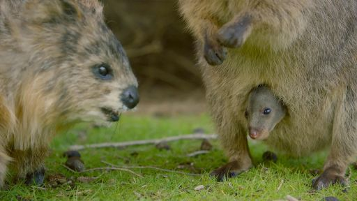 Spy Quokka Meets a Joey