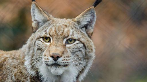 Lynx Fact Sheet