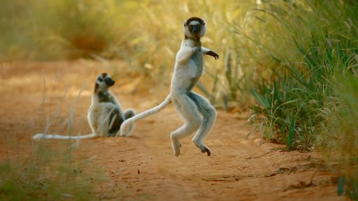 Why Do Sifakas Pogo?