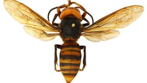 Giant Hornets, Giant Appetites