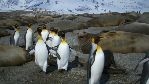 King Penguins Tiptoe Around Elephant Seals