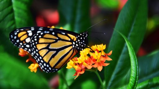 Monarch Butterfly Fact Sheet