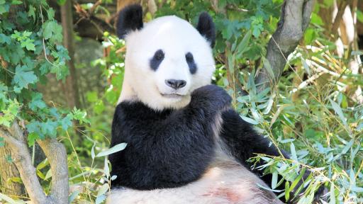 Panda Fact Sheet