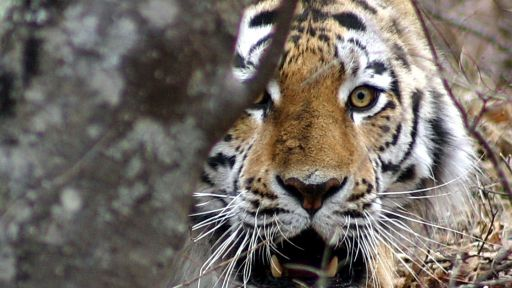 Siberian Tiger Saviors: Meet The Team Helping Tigers 'Claw Back'