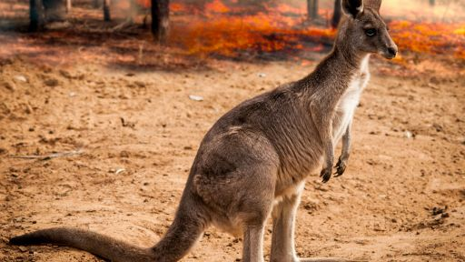 "Coming Soon to NATURE: ""Australian Bushfire Rescue"""