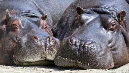 Hippo Fact Sheet