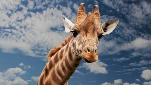 Giraffe Fact Sheet