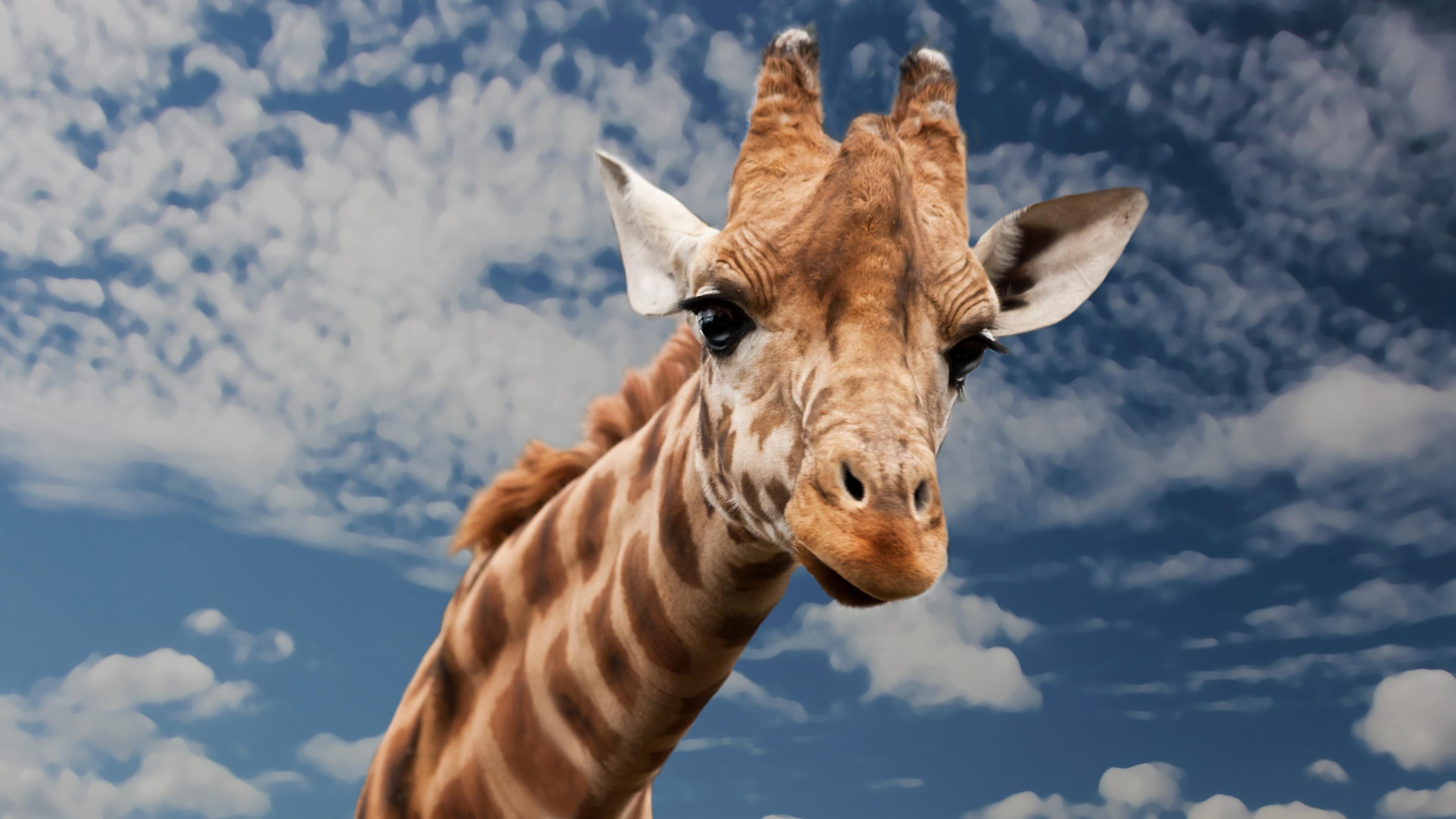 Giraffe Fact Sheet | Blog | Nature | PBS