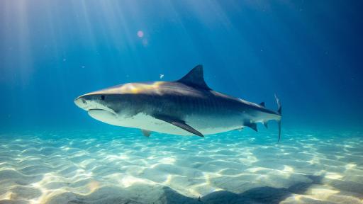 Shark Fact Sheet
