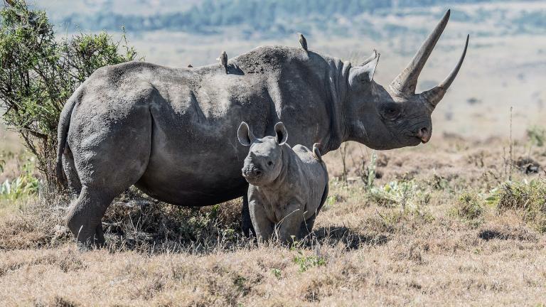 Rhinoceros Fact Sheet Blog Nature Pbs