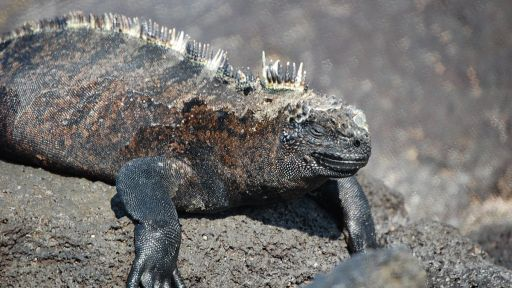 Iguanas From Above | Nature Nation