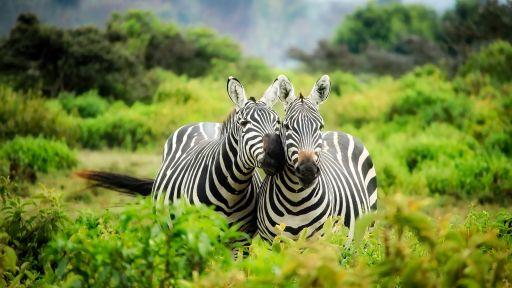 Zebra Fact Sheet
