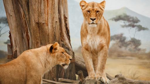 Lion Fact Sheet