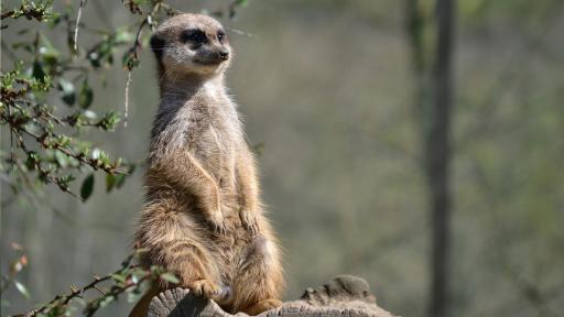 Meerkat Fact Sheet