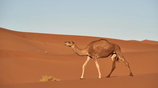 Camel Fact Sheet
