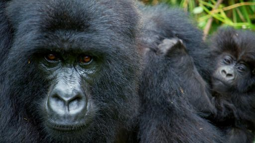 Secrets of Survival | Primates -- Alpha Gorilla is Dad of the Year