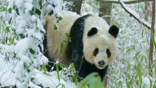 Pandas: Born to be Wild -- Rare Glimpse of Wild Panda In Heat