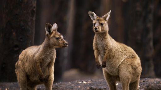 Two Orphan Joeys Welcomed Into New Home