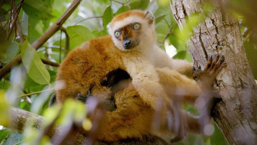 Secrets of Survival | Primates -- Lemurs' Jungle Pharmacy