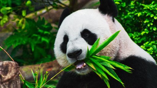 Good NATURE: Pandas: Born to be Wild