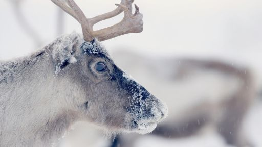 Santa's Wild Home -- Follow Thousands of Reindeer on an Epic Journey