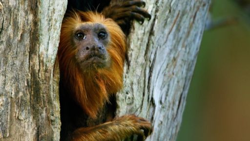 Family Matters | Primates -- Devoted Tamarin Dad Leads His Family