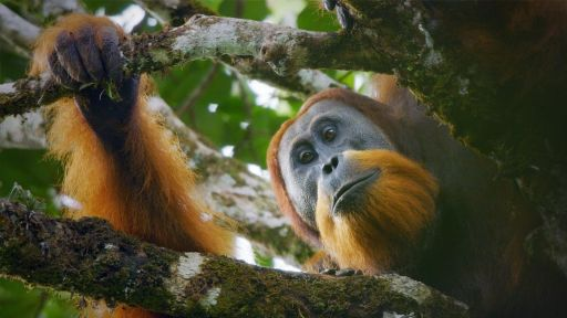 Family Matters | Primates -- New Orangutan Species Filmed for First Time