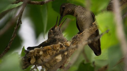 Anna's Hummingbird Filmed Nesting for First Time in Big Bend