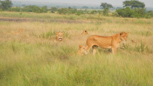 Jacob's Story: Saving an Injured Lion in Uganda