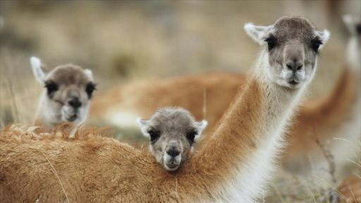 The Unique Birthing Ritual of Guanacos