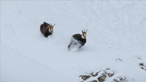 Winter's Fortress | The Alps -- Rival Bucks Fight Over Mate