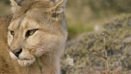 Female Puma Snubs Male