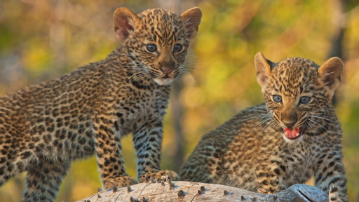 Mother Leopard Protects Cubs from Male Intruder