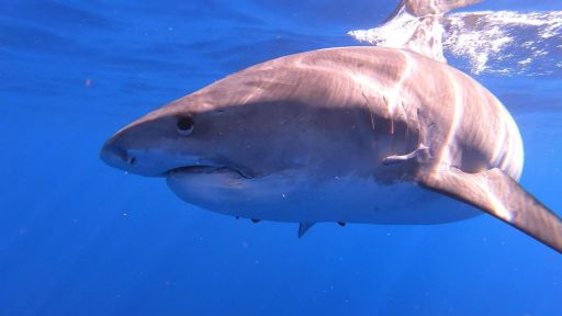 Good NATURE: Sharks of Hawaii