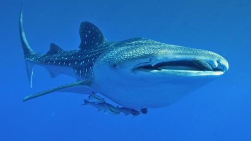 Whale Shark Fact Sheet