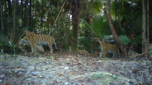How The Fate of the Tiger Is in Human Hands