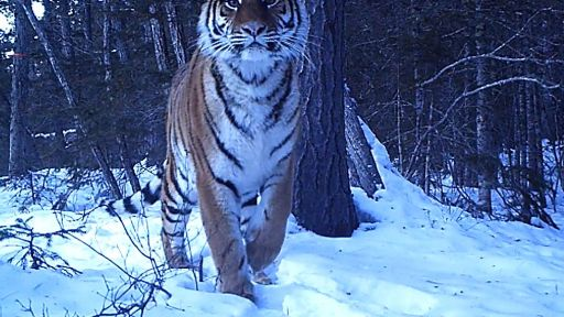 """Protecting Tigers in the Russian Far East, Zheny Stoma Is a """"Ranger's Ranger"""""""