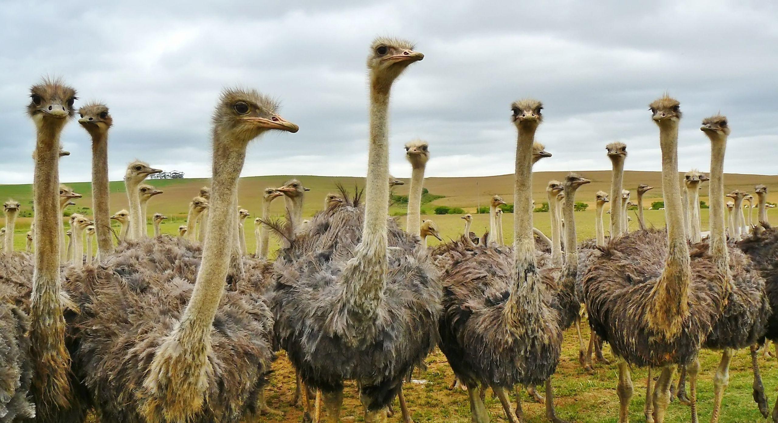 Ostrich Fact Sheet