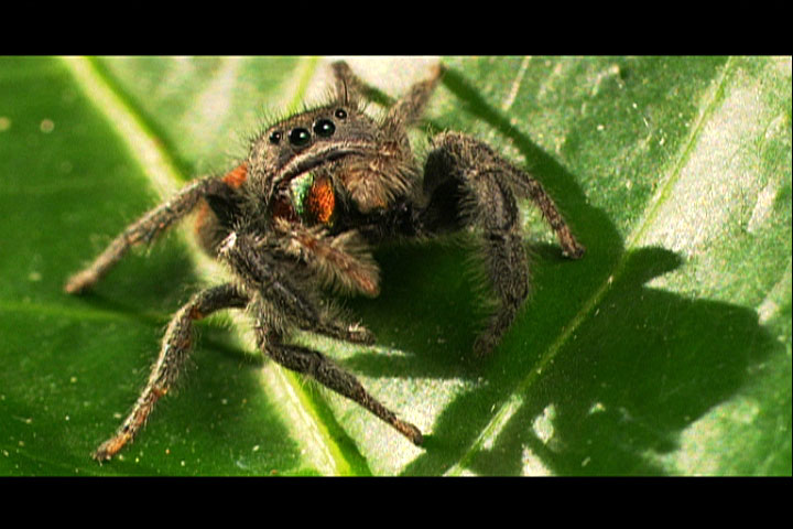 What Males Will Do | Spider Courtship Dance | Nature | PBS