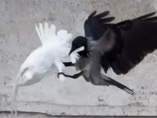 1722-vatican-doves-attack-320