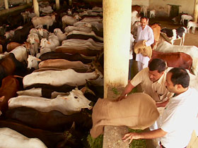 post02-india-sacred-cows
