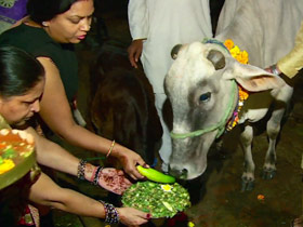 post05-india-sacred-cows
